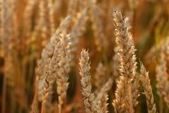 Reifende Ohren des Weizenfeldes auf dem Hintergrund der Einstellung Lizenzfreie Stockbilder