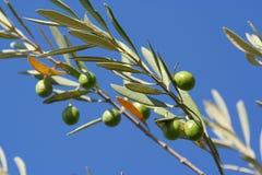 Reifende Oliven Stockbilder