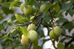 Reifende Pflaumenfrucht stockbild
