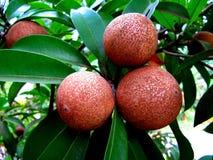 Reifende Sapotillbaumfrüchte in einem Biogarten Stockbilder