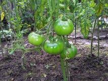 Reifende Tomaten Stockbilder