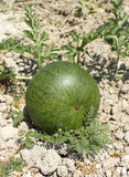 Reifende Wassermelone lizenzfreie stockfotos