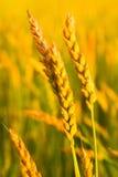 Reifender Weizen Lizenzfreie Stockbilder