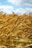 Reifender Weizen gegen einen blauen Himmel Stockfotografie
