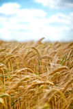 Reifender Weizen gegen einen blauen Himmel Stockbilder