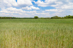 Reifendes Maisfeld und ein Baum Stockfotos