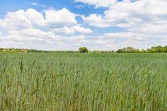 Reifendes Maisfeld und ein Baum Lizenzfreies Stockbild