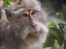 Reifer Affe mit wehmütigen Augen in Ubud-Wald, Bali, Indonesien Stockfotos