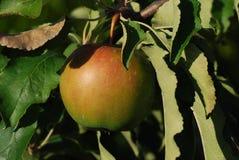 Reifer Apfel Lizenzfreie Stockfotografie