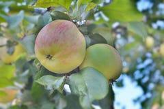 Reifer Apfel auf einem Zweig Stockbild