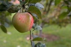 Reifer Apfel, der an einer Niederlassung hängt Nahaufnahme Stockfoto