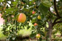 Reifer Apfel, der an einer Niederlassung im Herbstgarten hängt Lizenzfreies Stockbild