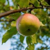 Reifer Apfel der Frucht Stockfoto