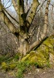 Reifer Baum und Moos bedeckten Felsen Lizenzfreies Stockfoto