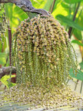 Reifer Betel - Nuss oder Arekanuss-Nuss-Palme auf Baum Lizenzfreies Stockfoto