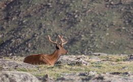 Reifer Buck Deer Walking in der Wiese an einem Sommer-Tag in Rocky Mountain National Park stockfoto