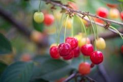 Reifer Cherry Branch Lizenzfreie Stockfotos