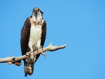 Reifer Fischadler gehockt auf einem toten Ast Lizenzfreie Stockfotografie