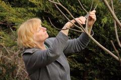 Reifer Frauenbeschneidungsfeigenbaum Stockfotos