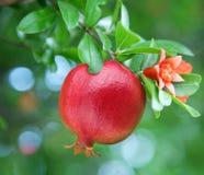 Reifer Granatapfel auf dem Zweig. stockbilder