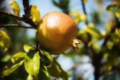 Reifer Granatapfel gegen den Himmel Lizenzfreies Stockbild