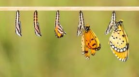 Reifer Kokon wandeln zu Tawny Coster-Schmetterling um stockfoto