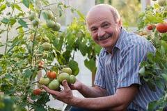 Reifer Landwirt oder Gärtner im Gewächshaus seine Tomatenqualität überprüfend lizenzfreies stockfoto
