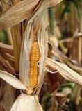Reifer Mais auf dem Stiel lizenzfreie stockfotos