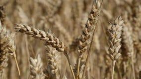 Reifer Mais, der auf dem Gebiet wächst stock video