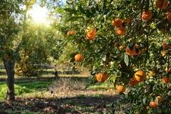 Reifer Mandarinenbaum im Bauernhofgarten Lizenzfreie Stockfotografie