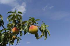 Reifer Pfirsich auf einem Baum Stockfotografie