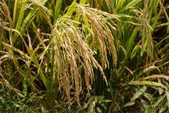 Reifer Reis Stockbild