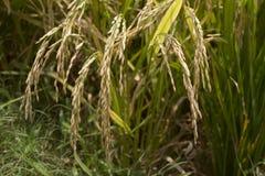 Reifer Reis auf dem Reisfeld Stockfoto