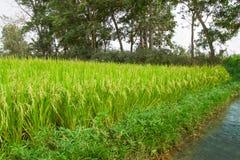 Reifer Reis auf dem Reisfeld Lizenzfreie Stockfotografie