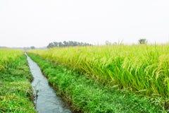 Reifer Reis auf dem Reisfeld Stockfotografie