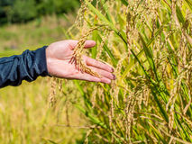 Reifer Reis bereit, im Ackerland zu ernten Lizenzfreies Stockbild