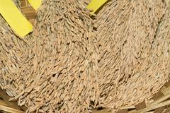 Reifer Reis des gelben Jasmins des Reiskornes Lizenzfreie Stockfotos