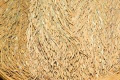 Reifer Reis des gelben Jasmins des Reiskornes Stockfotografie
