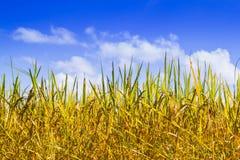 Reifer Reis und blauer Himmel Stockbild
