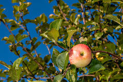 Reifer roter Apfel Stockfoto