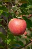 Reifer roter Apfel auf einer Niederlassung an einem Obstgarten Stockfotografie