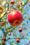 Reifer roter Apfel im Garten Stockfoto