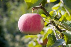 Reifer roter Apple Stockbilder