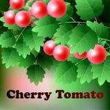 Reifer, roter, saftiger Kirschtomatenfall auf einer grünen Niederlassung Vektor Lizenzfreies Stockbild