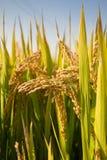 Reifer ungeschälter Reis Stockfoto