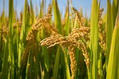 Reifer ungeschälter Reis Lizenzfreies Stockfoto