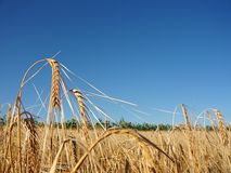 Reifer Weizen über blauem Himmel Lizenzfreies Stockbild