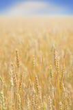 Reifer Weizen Lizenzfreie Stockfotografie
