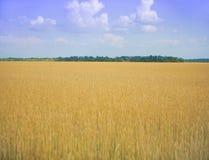 Reifer Weizen Lizenzfreie Stockfotos