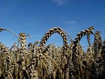 reifer Weizen stockbild